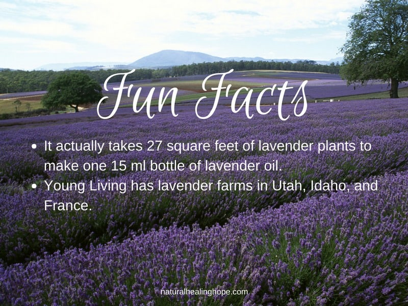 Fun Facts about Lavender