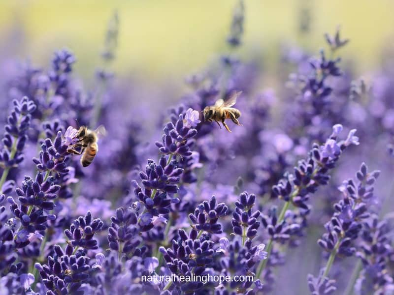 Lavender: God's Gift For Our Health and Wellbeing