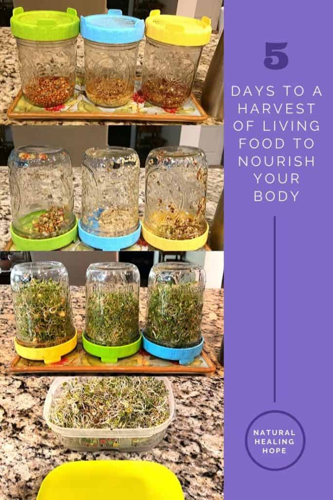 "pictures of the stages of growing sprouts with text on the side that says, ""5 days to a harvest of living food to nourish your body"""