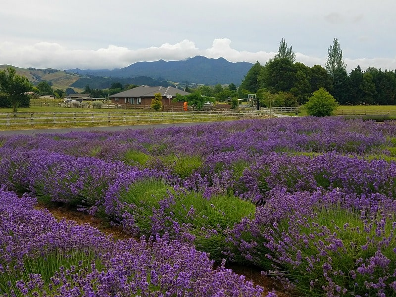 Discovering More About Lavender in New Zealand