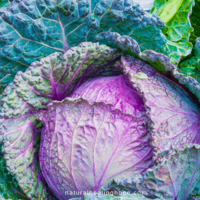 Beautiful Purple Cabbage