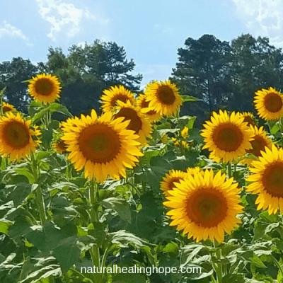 Sunflower Facts and Inspiration for Healthy Living